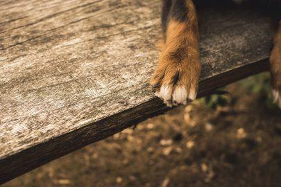 Hund Pfote auf Holz
